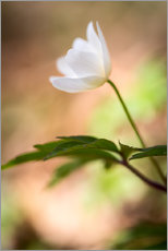 Gallery print  Wood anemone - blooming with soft background - Mark Scheper