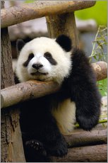 Gallery print  Panda relaxes on a fence - Pete Oxford