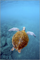 Gallery print  Floating galapago turtle - Pete Oxford