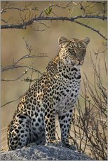 Wall sticker  Leopard perched on its rock - James Hager
