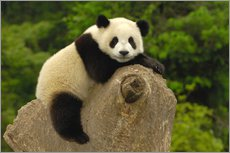 Wall sticker  Panda cub lies on tree trunk - Pete Oxford