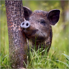 Canvas print  Juvenile boar