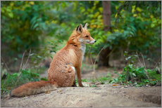 Canvas print  Portrait of a red fox