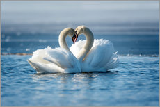 Premium poster  Romantic couple of swans