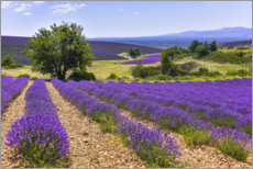 Canvas print  Lavender fields of Provence - Jürgen Feuerer