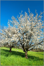 Premium poster Blossoming cherry trees on the field