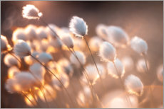 Acrylic print  Cottongrass in the evening light - Julia Delgado
