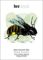 Canvas print  Anatomy of a red mason bee - Velozee