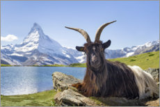Canvas print  Matterhorn with Valais black-necked goat - Jan Christopher Becke