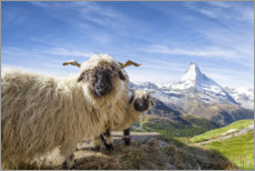 Canvas print  Matterhorn with black-nosed sheep - Jan Christopher Becke