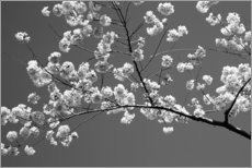 Aluminium print  Cherry blossom in black and white