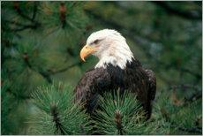 Canvas print  Bald eagle perched in a pine tree
