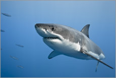 Wall sticker  Great white shark II - nitrogenic