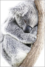 Premium poster  Sleeping Koala II - Art Couture
