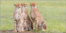 Acrylic print  Three concentrated cheetahs - Jaynes Gallery