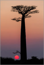 Premium poster Baobab trees in the morning sky