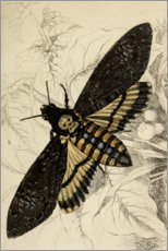 Canvas print  Death's-head Hawkmoth - Wunderkammer Collection