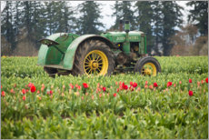 Canvas print  Tractor on a tulip field