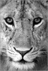 Premium poster  Head of a lioness