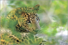 Acrylic print  Jaguar in the bushes