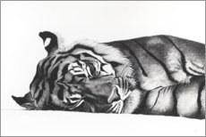 Acrylic print  Sleeping tiger - Rose Corcoran