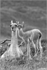 Aluminium print  Alpaca mother with child - Adam Jones