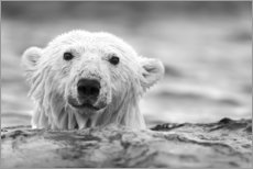 Premium poster  Polar bear while swimming - Paul Souders