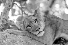 Acrylic print  Lioness resting on branch - Emily M. Wilson