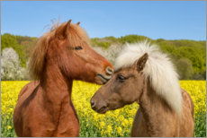 Premium poster Icelandic horses cuddle in a spring meadow