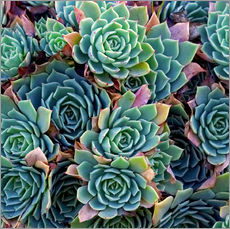 Gallery print  Colorful succulents - David Wall