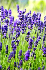 Wall sticker  Lavender on a meadow - Rob Tilley