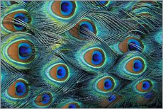 Gallery print  Iridescent feathers of a peacock - Adam Jones