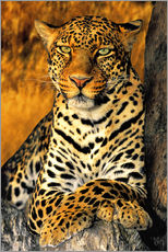 Wall sticker  Enthroned Leopard - Dave Welling