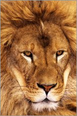 Wall sticker  Portrait of an African lion - Dave Welling