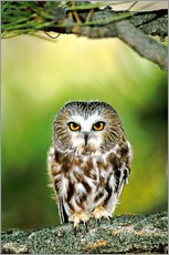 Gallery print  Northern saw-whet owl - Dave Welling