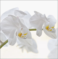 Wall sticker  White Orchid - Heidi Bollich