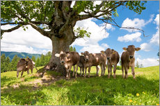Wall sticker  Young Cows - Jan Schuler