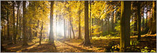 Gallery print  Autumn forest backlit with sunshine and yellow autumn leaves - Jan Christopher Becke
