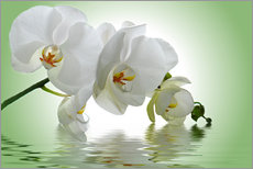 Gallery print  Orchid with Reflection - Atteloi