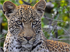 Gallery print  The leopard - Africa wildlife - wiw