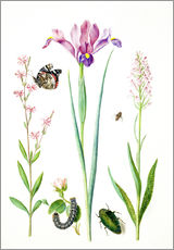 Gallery print  Red catchfly, rose, iris & orchis - Maria Sibylla Merian