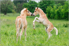 Wall sticker  Haflinger foals playing and rearing - Katho Menden