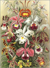 Gallery print  Orchids, artistic forms of nature, graphic 74 - Ernst Haeckel