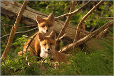 Gallery print  Young foxes - Uwe Fuchs