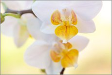 Wall sticker  White orchids against soft yellow background - Julia Delgado