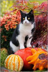 Wall sticker  Tuxedo cat on colourful pumkins in a garden - Katho Menden