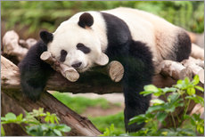 Wall sticker  Giant panda sleeping - Jan Christopher Becke