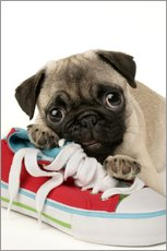 Wall sticker  Pug pup and shoe - Greg Cuddiford