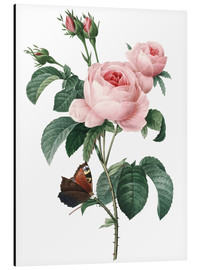 Aluminium print  Rose of a Hundred Petals - Pierre Joseph Redouté