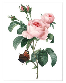 Premium poster  Rose of a Hundred Petals - Pierre Joseph Redouté